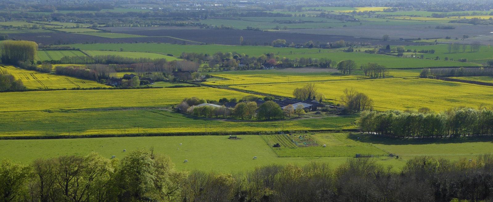 Oilseed fields near Wye