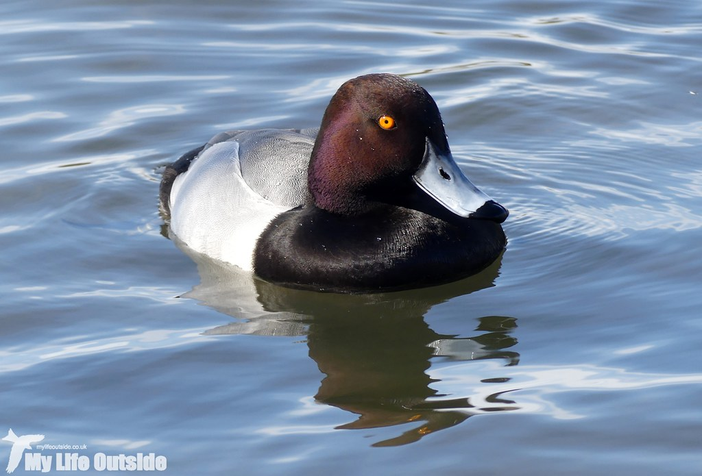 P1000801 - Tufted Duck x Pochard