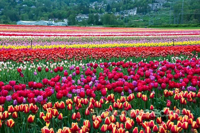 Abbotsford Tulip Festival-3