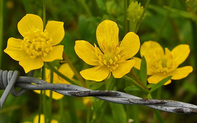 Buttercups (Ranunculus) (7)