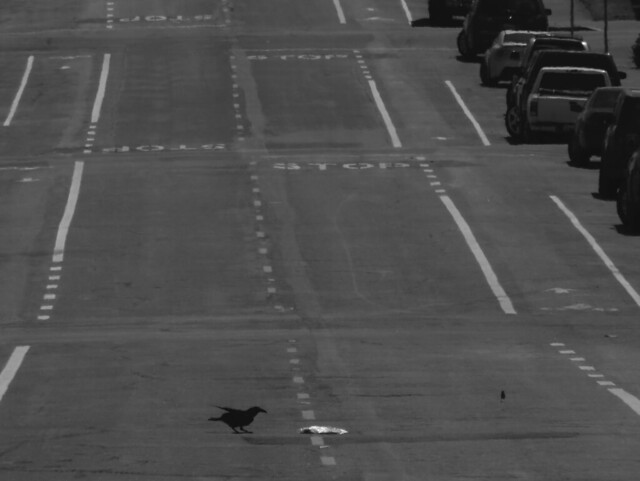 Crow picking at trash on the street in the Sunset, San Francisco (2015)
