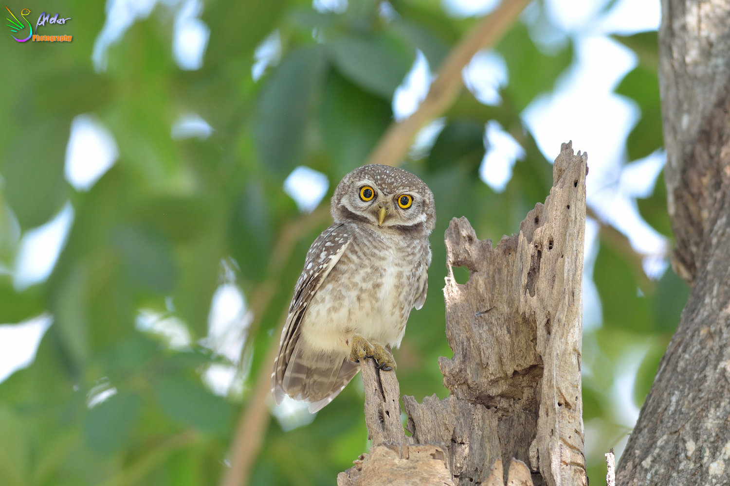 Spotted_Owlet_2973