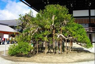 京都御所、右近の橘 by wikipedia