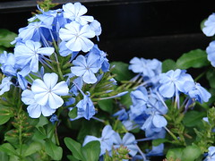 starr-070906-8799-Plumbago_auriculata-blue_flowers-Kula_Ace_Hardware_and_Nursery-Maui