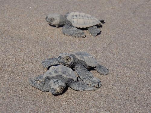 Celestino Gasco - turtle release - 2