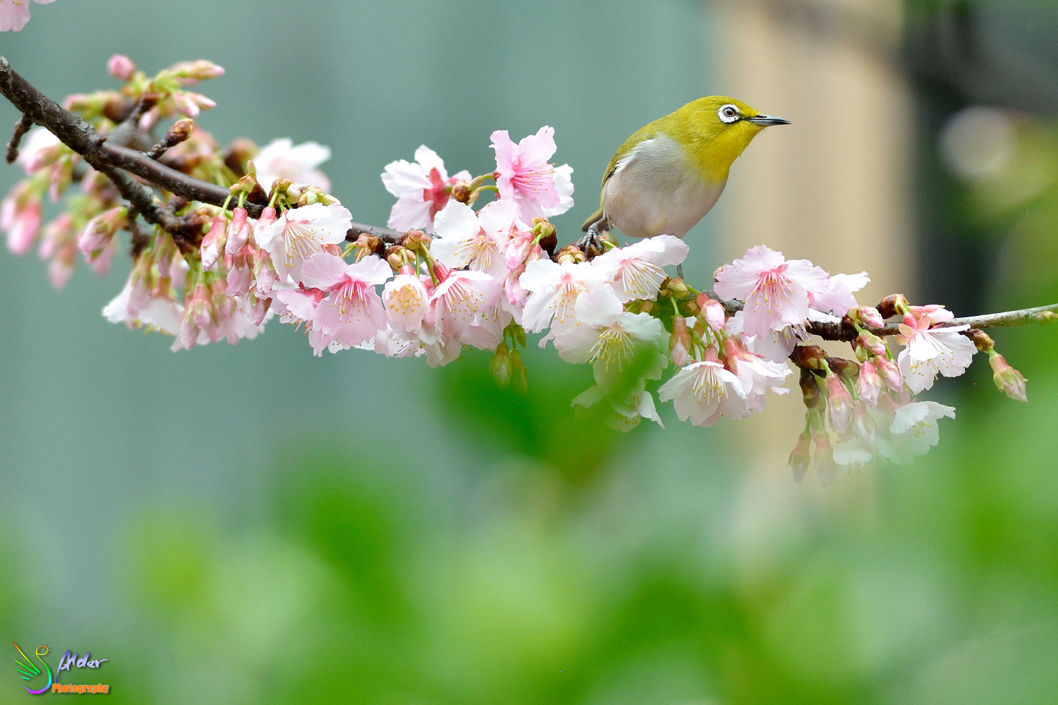 Sakura_White-eye_6469