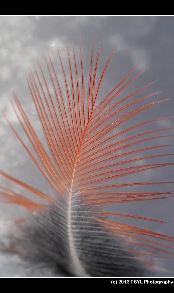 Cardinal feather?