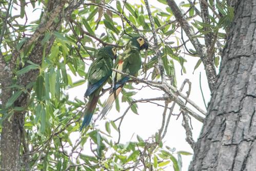 Blue-winged Macaw (Primolius maracana), Rio de Pedras near Canudos, Bahia, BR, 20160114-102.jpg