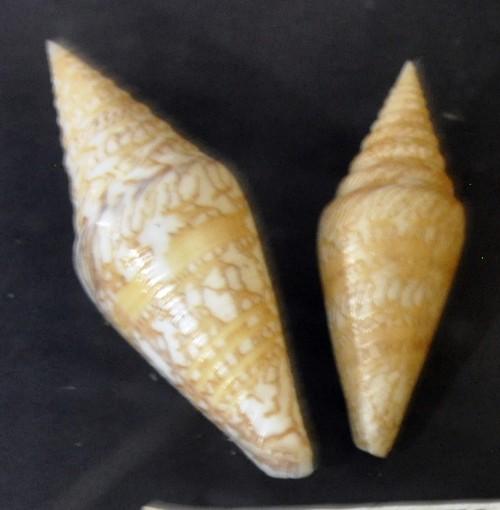 Conus excelsus 25725042870_b9e79bc6d9_o