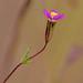 Leptosiphon pygmaeus? by Ken-ichi