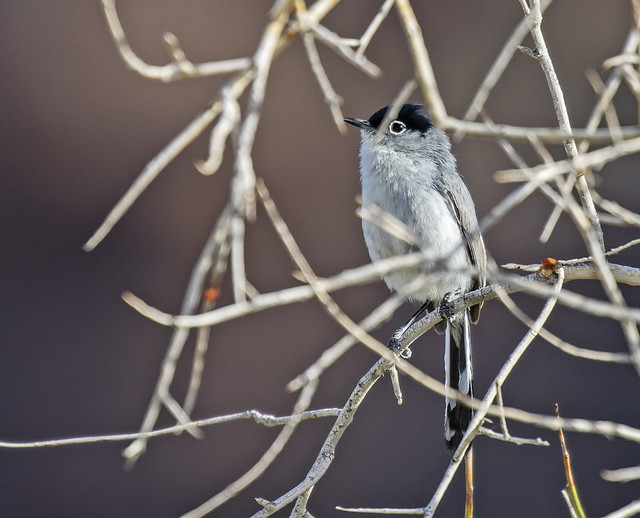 Black-tailed Gnatcatcher 8_7D2_210316