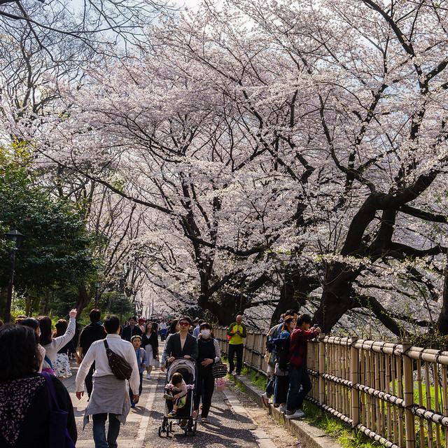 CherryBlossoms_164