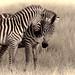 Zebras in the Serengeti by Anne McKinnell