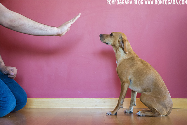 Órdenes básicas para perros: Quieto