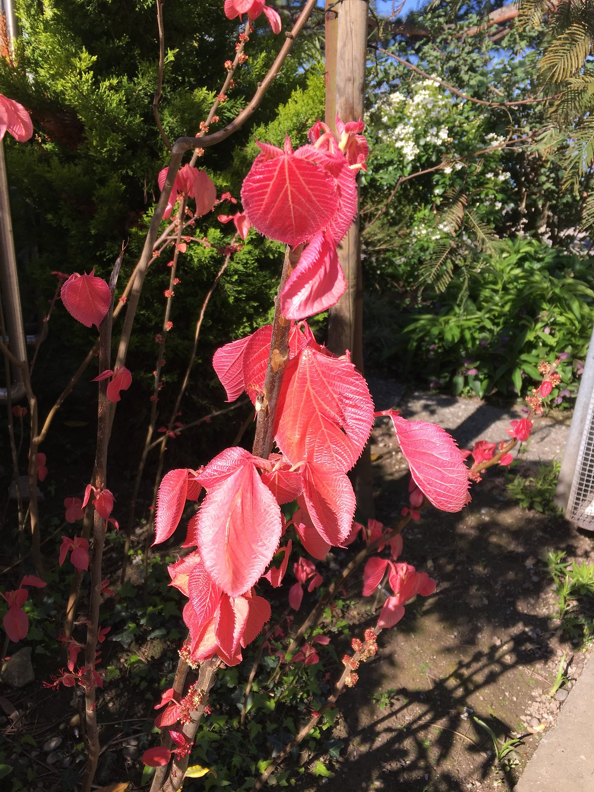 Plante inconnue à feuilles roses 26727435555_e1a661e423_h