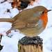 Robin by Mrs Airwolfhound