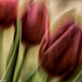 Tulipmania by Mirrored-Images