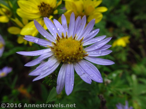 A rain-drenched aster along the Stairway to Heaven Trail, Jedediah Smith Wilderness Area and Grand Teton National Park, Wyoming