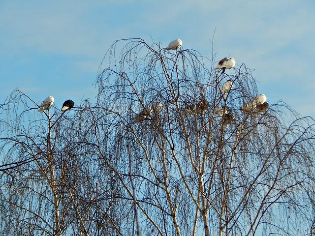 голуби на берёзе