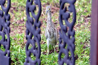 IMG_0857/Thailand/Koh Phangan island/ Kupu Kupu Resort/ Strange bird comming look at me