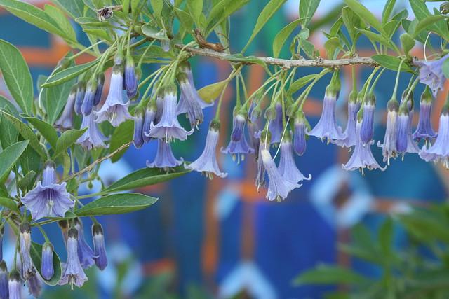 Acnistus australis