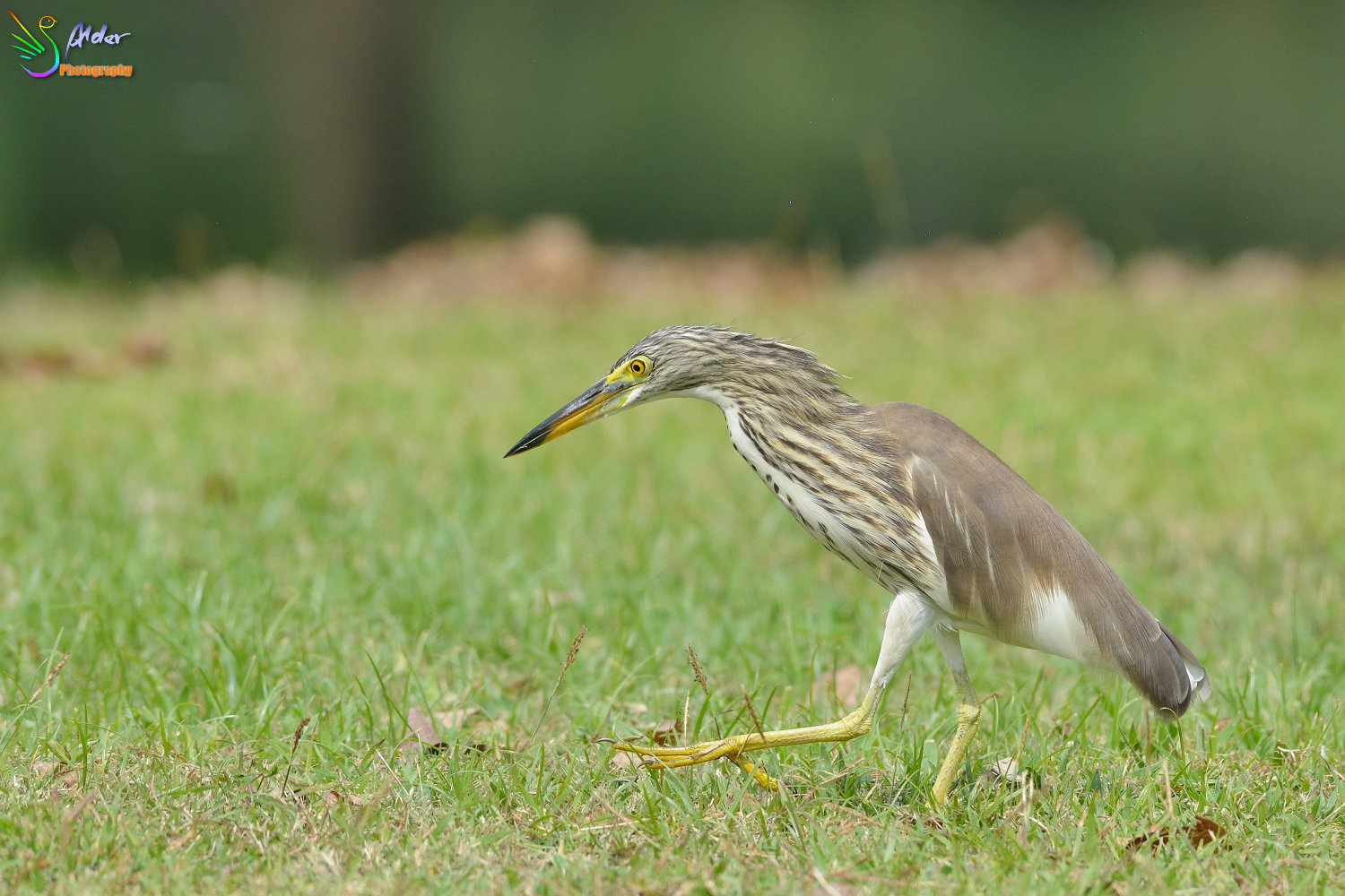 Chinese_Pond_Heron_1371