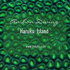 New blogpost on scuba diving in Haruku Island, Ambon #Indonesia - story and #underwaterimages are included.    Link is available in my bio or visit my blog: indahs.com   #Haruku #Ambon #maluku #divemag #scubamag #natgeo #padi #ig_ocean #instascuba #ocean_