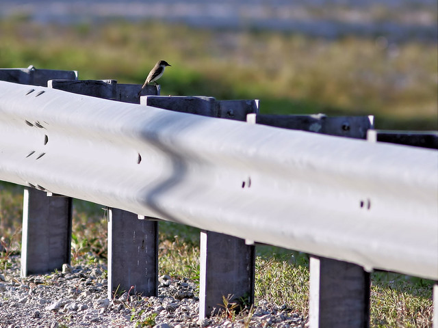 Eastern Phoebe on guard rail 20160307