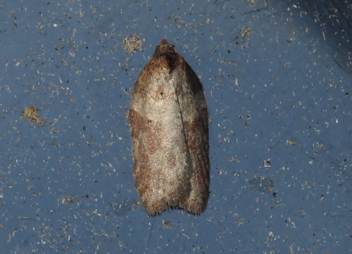 Acleris hastiana Tophill Low NR, East Yorkshire, January 2016