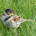 Reed bunting (m) by Tom Kennedy1