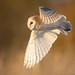 Barn Owl (Tyto alba) by benstaceyphotography