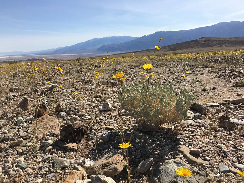 Death Valley wildflowers at Beatty Cutoff