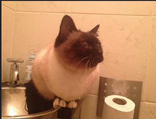 cat-on-loo
