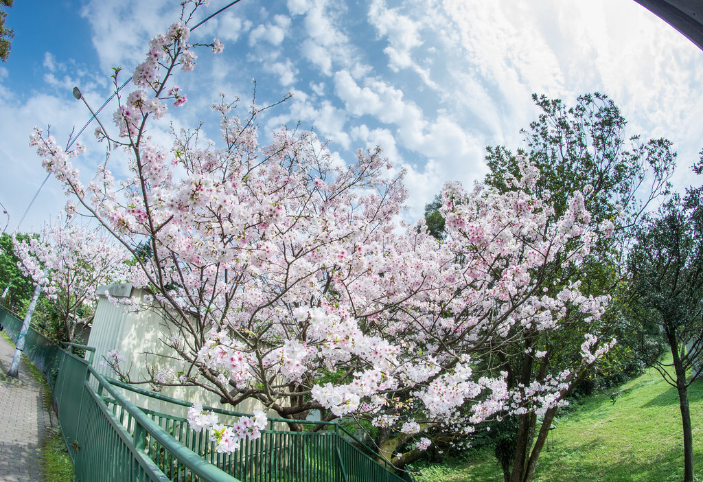 陽明山櫻花+紫藤花