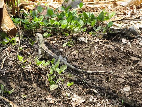Isla de Ometepe: il n'y a pas qu'au Mexique qu'il y a des iguanes