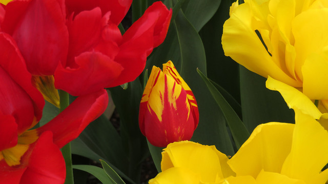 Yellow Tulips, Red Tulips and an Interloper