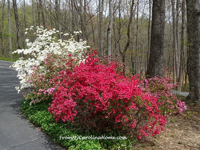 Azalea Walk at From My Carolina Home