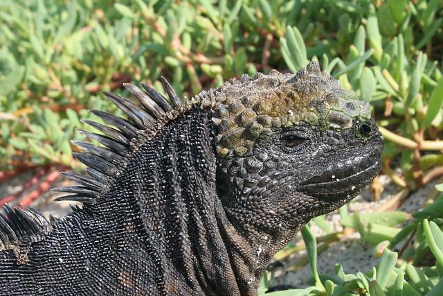 Galápagos-2016. Iguana marina