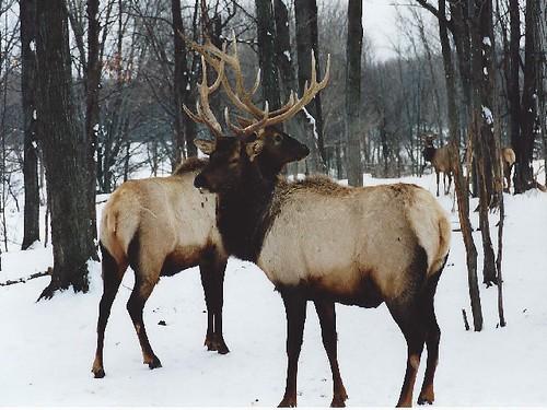 Elk in Aspen Park, Mich