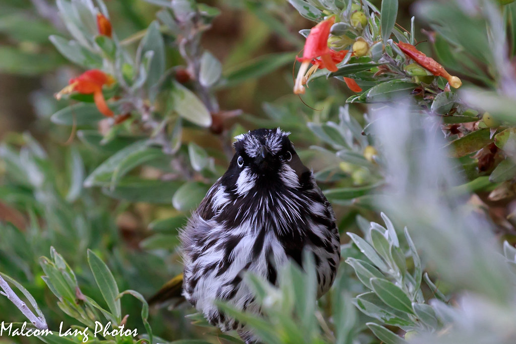 Mr Grumpy ( New Holland Honeyeater ) Phylidonyris Novaehollandiae.
