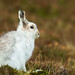 Berghaas / Mountain hare / Lièvre by Gladys Klip