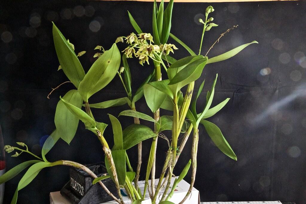 Dendrobium maccrophyllum x atroviolacea 24187309111_f200755c51_b
