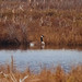Small photo of Canada Goose (Grus canadensis)