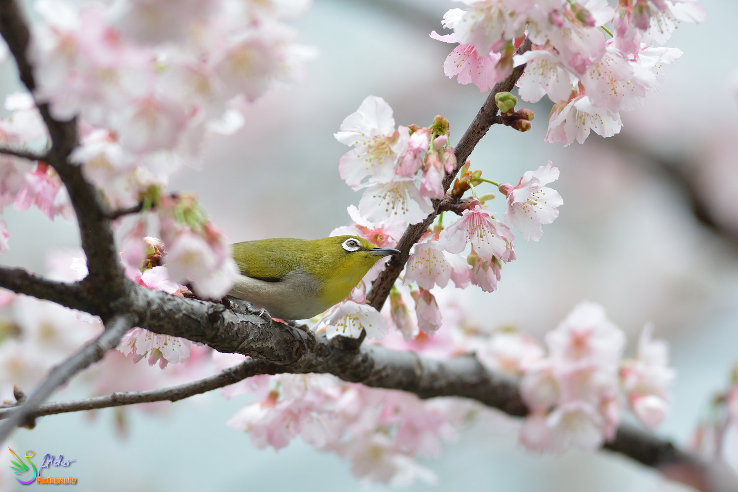 Sakura_White-eye_6724