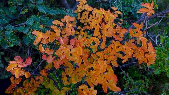 Nothofagus starting to show autumn colors