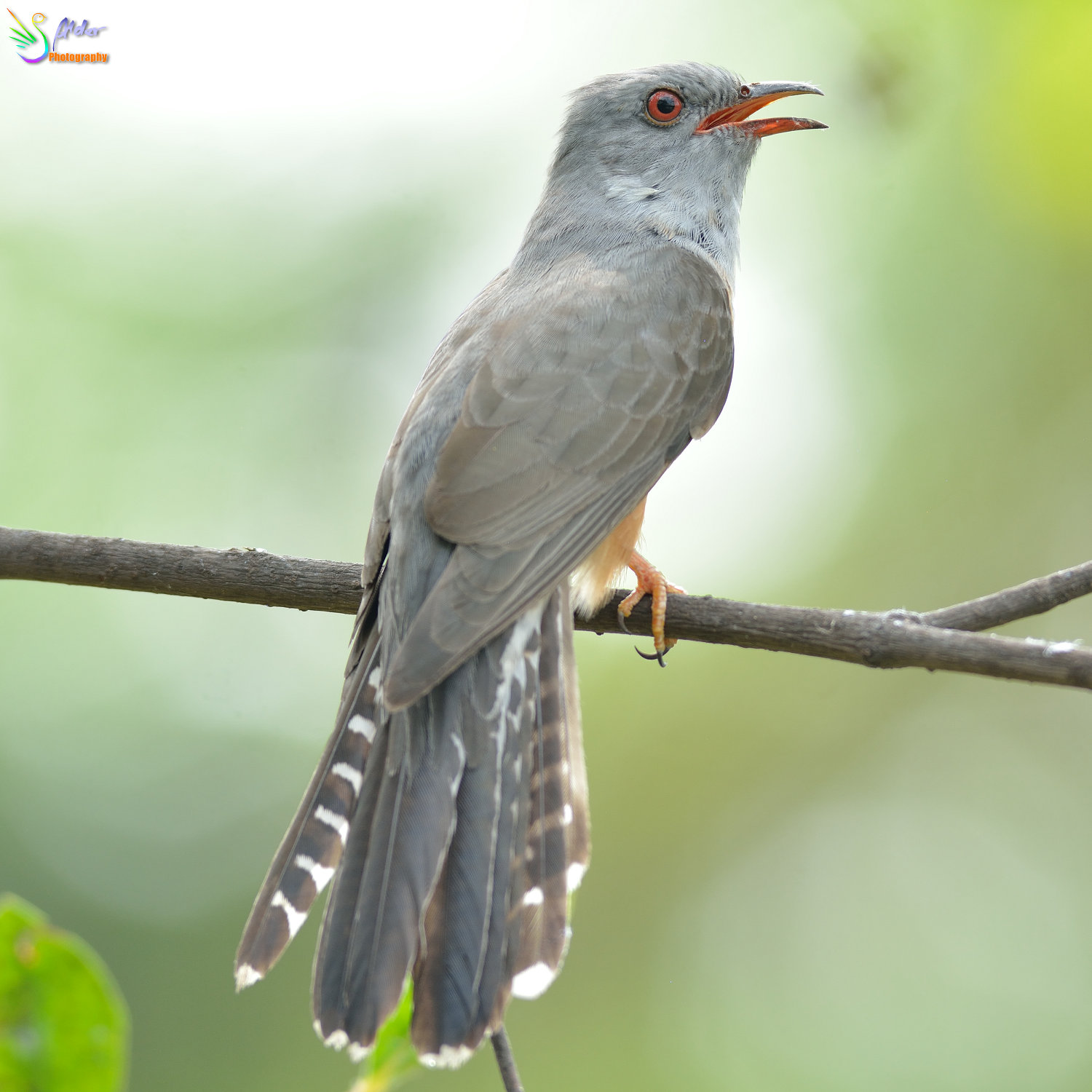Plaintive_Cuckoo_1684