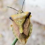 tüskés gyümölcspoloska - Carpocoris fuscispinus