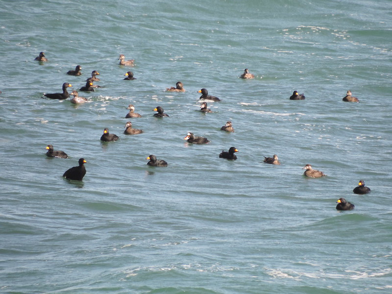 Black and Surf Scoters