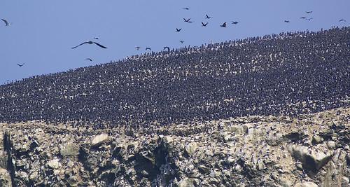 travel peru birds landscape wildlife fugler fuglefjell ballestasisland
