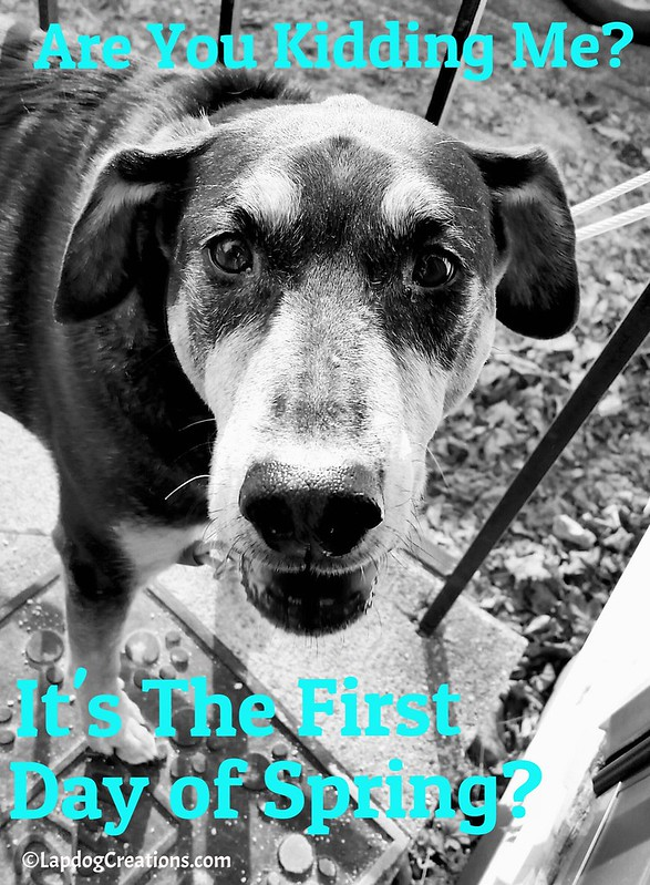 Are You Kidding Me? It's the first day of Spring? - Teutul #Spring2016 #seniordog #rescueddog #BlackAndWhiteSunday #LapdogCreations ©LapdogCreations